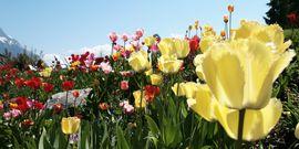Tulpenpracht im Hotelgarten