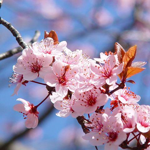 Apfelblüte in Meran