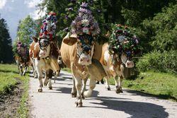 Semaine de la transhumance  du Karwendel