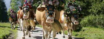 Cattle herding week with an evening of traditional dress | 7 Nights