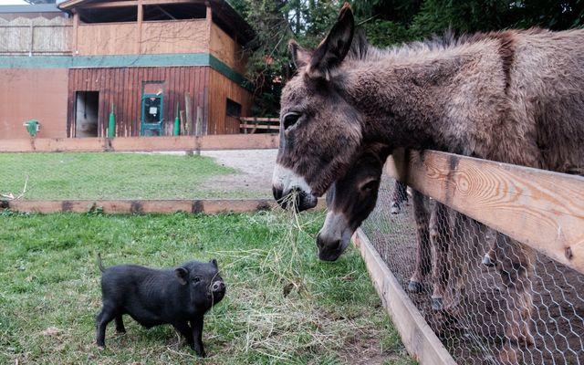 Esel und Schwein auf der Bliem Ranch